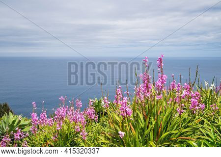 Pink Flowers To Background The Ocean From A Cliff In The City Of Nordeste, Azores, Portugal