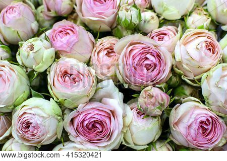 Beautiful Pink Pion-shaped Rose. Bouquet Shrub Roses. Pink Pastel Floral Background