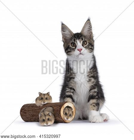 Cute Black Tabby With White Maine Coon Cat Kitten, Sitting Beside Wood Trunk With Three Hamsters Cra