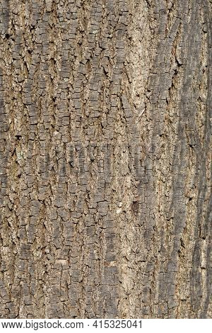 Broad-leaved Lime Bark Detail - Latin Name - Tilia Platyphyllos