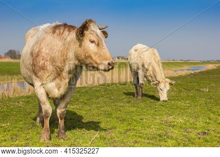 White Cows In The Springtime In Twiske Recreation Area In Holland