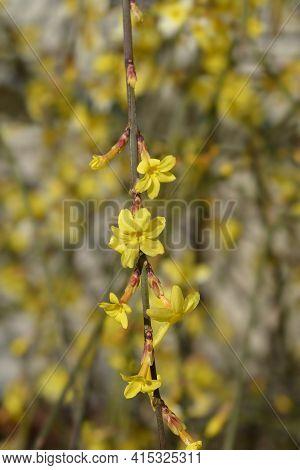 Winter Jasmine - Latin Name - Jasminum Nudiflorum