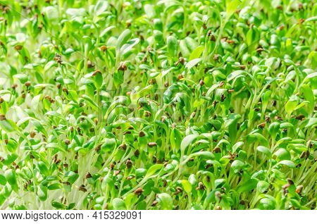 Alfalfa Sprouts, Close Up. Lucerne, Microgreens. Seedlings Of Medicago Sativa, Green Shoots, Young P