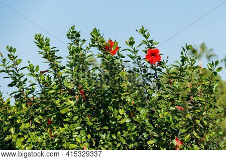 Red Hibiscus Flowers (china Rose, Chinese Hibiscus, Hawaiian Hibiscus) In The Tropical Garden