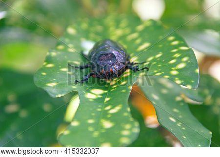 Coconut Rhinoceros Beetle (oryctes Rhinoceros, Scarabaeidae) Is Strong Pest Of Palm Trees And Pandan