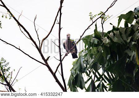 Green Imperial Pigeon (ducula Aenea Pusilla). Sri Lanka Wintertime