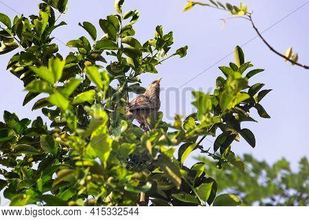 Yellow-billed Babbler (argya Affinis Taprobanus) In Sri Lanka, Wintertime