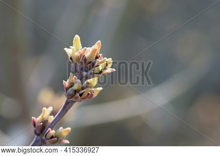 The Branches Of The Bush Bloom In The Spring. A Branch Of A Tree With Spring Brown And Green Shoots