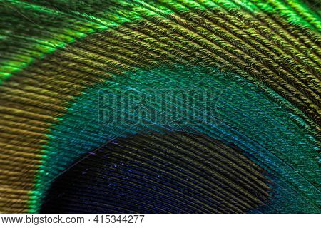 Peacock Feather Macro. Peacock Feather Close-up With Clear Lines And Color Transitions