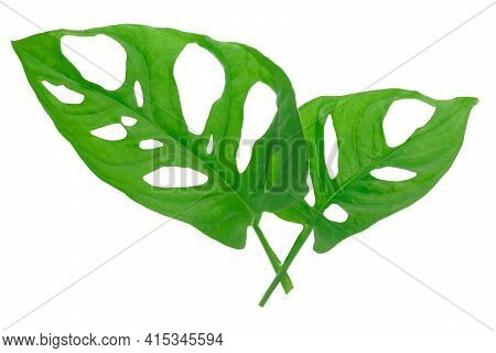 Leaves Of Tropical Plant - Isolated Monstera Adansonii Also Called Monstera Monkey. High Details Mac