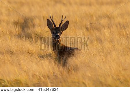 Roe Deer Buck Looking Over The Shoulder On Wheat Field In Sunset