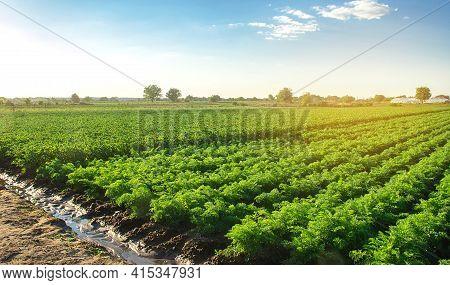 Plantation Landscape Of Green Carrot Bushes. European Organic Farming. Growing Food On The Farm. Gro