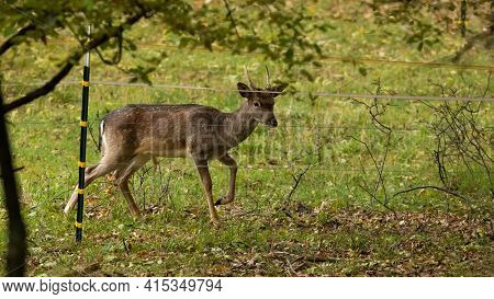 Young Fallow Deer Buck Trapped By Electric Fence On Pasture