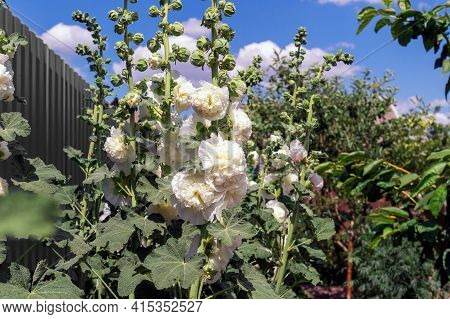 Alcea Rosea, A Double Form In White. Popular Garden Ornamental Plant. Also Comonly Known As Hollyhoc