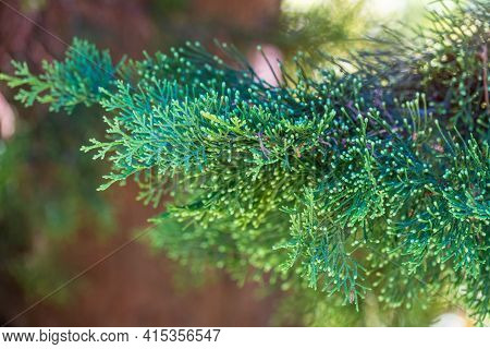 Juniper Green Branch Close Up On Blurred Background. Juniperus Excelsa, Commonly Called The Greek Ju