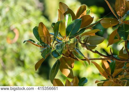 Fresh Magnolia Leaves On A Branch. Magnolia Grandiflora, Commonly Known As The Southern Magnolia Or