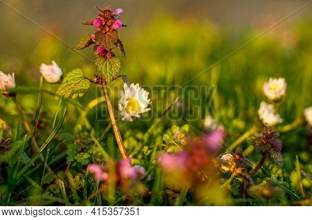 Lamium Purpureum L. Flowers Pink-purple, Spring Perennial With Unpleasant Smell