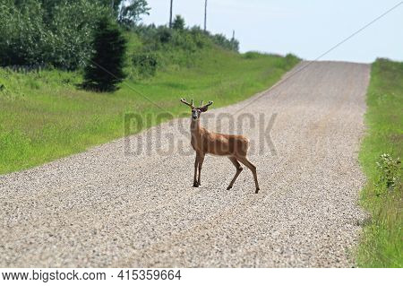 A Foung Buck Stands In The Middle Of A Gravel Road
