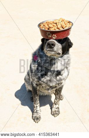 Black and white spotted dog balancing a bowl full of dog biscuits on her head and nose; an act of great balance and obedience