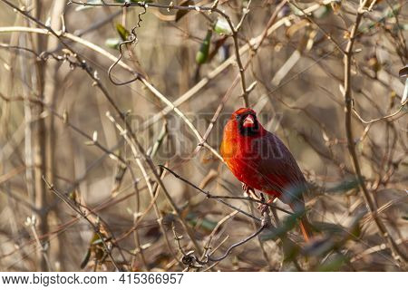Close Up Image Of A Male Northern Cardinal (cardinalis Cardinalis) Perching In A Bush In Maryland, U
