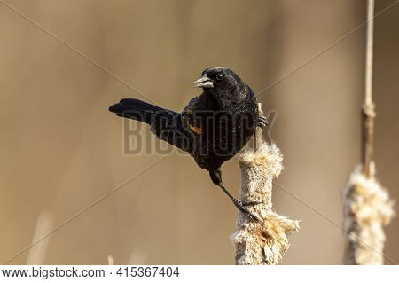 A Male Red Winged Blackbird (agelaius Phoeniceus) A Tiny Passerine Bird Characterized By Black Feath