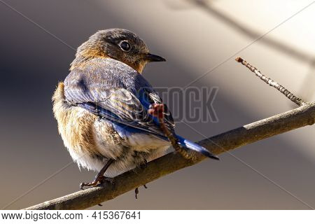 A Female Eastern Bluebird,  Small Migratory Thrush Song Bird (sialia Sialis) Native To North America