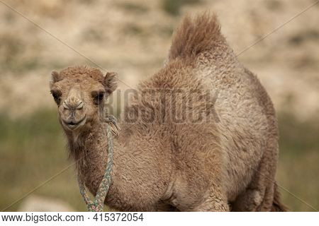 A Close Up Isolated Image Of  A Cute Dromedary Camel Fawn (camelus Dromedarius) At A Desert Location