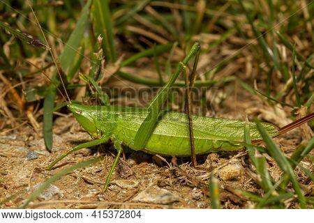 Conocephalus Fasciatus (slender Meadow Katydid) Is A Green Katydid Native To North America. It Mimmi