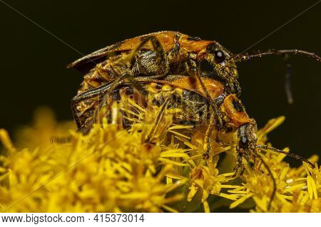 Close Up Macro Image Of Mating Goldenrod Soldier Beetles A.k.a Pennsylvania Leatherwing (chauliognat