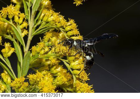 A Black Colored Four Toothed Mason Wasp (monobia Quadridens) Is On Yellow Flowers Of Canada Goldenro