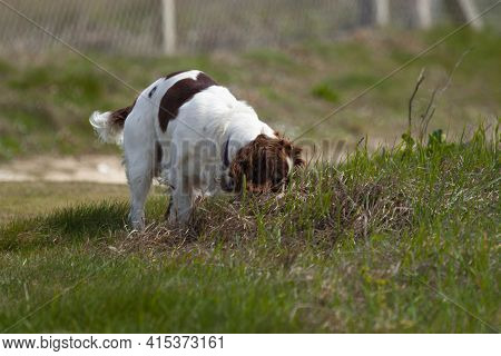 Close Up Image Of A Brittany Spaniel Dog On A Meadow. The White And Brown Spotted Dog Is Anxiously S