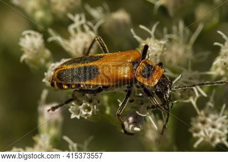 Close Up Macro Image Of An Adult Goldenrod Soldier Beetle A.k.a Pennsylvania Leatherwing (chauliogna