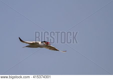 A Caspian Tern (hydroprogne Caspia) Is Flying Over The Chesapeake Bay  Around Eastern Neck Island Of