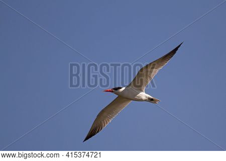 Close Up, Isolated Image Of A Caspian Tern (hydroprogne Caspia) Characterized By Red Bill, Black Leg