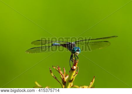 A Close Up Isolated Image Of A Vibrant Colored Blue Dasher Dragonfly (pachydiplax Longipennis) On A