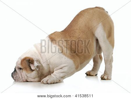 dog bowing - english bulldog with head down and bum up isolated on white background