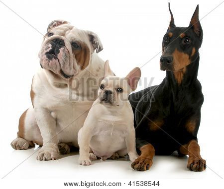 three different breeds of dogs isolated on white background - french bulldog, english bulldog and doberman pinscher poster