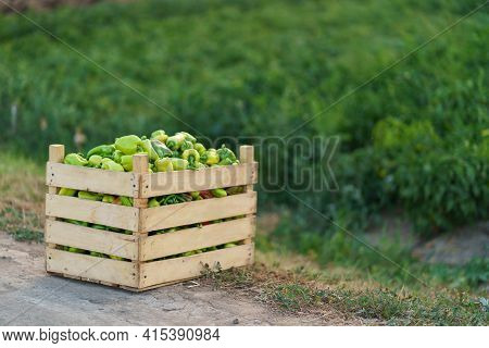 Crate Of Fresh Cultivated Peppers On A Pepper Field Background