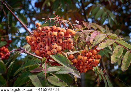 Rowan Branch With Bright Orange Berries On The Background Of Green Foliage. (mountain Ash Rowan Tree