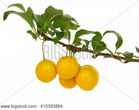 Plum Branch With Ripe Fruits, Isolated On White. Yellow Mirabelle, Prunus Cerasifera