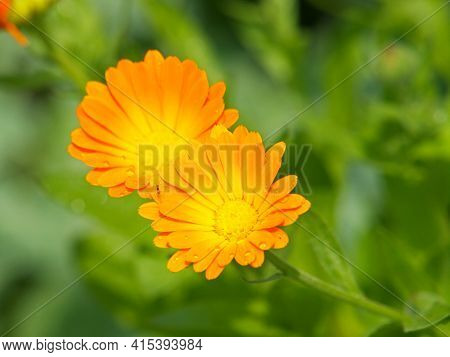 Yellow Flowers Of Marigold, Ruddles, Common Or Scotch Marigold. Calendula Officinalis