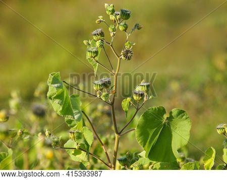 Velvetleaf Plant With Flowers And Pods, Abutilon Theophrasti