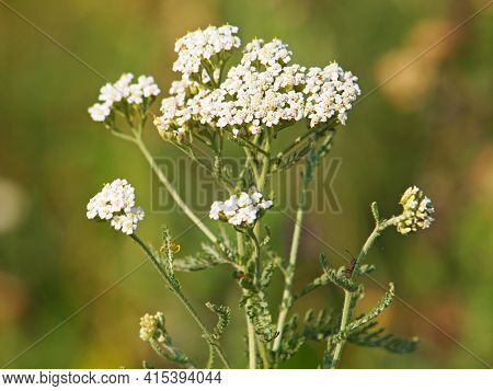 Yarrow Plant Flower In Summer, Achillea Millefolium