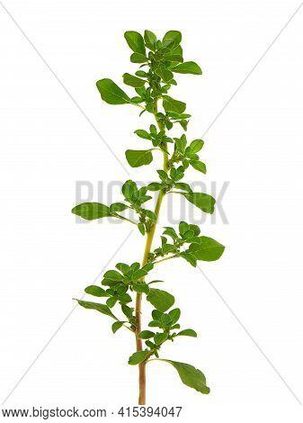 Purslane Plant Isolated On White, Portulaca Oleracea