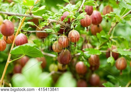 Some ripening gooseberries on the branch in a kitchen garden