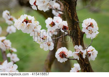 Flowering Apricot Tree Blossom In Early Spring In Beautiful Nature.