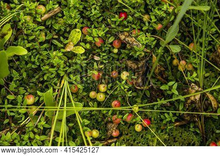 Not Ripe Cranberry (vaccinium Oxycoccos)