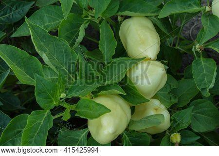 Vegetable Beds Garden. Bush White Bulgarian Pepper Or Bell Pepper (latin: Capsicum Annuum) Close Up.