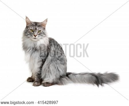 Maine Coon Cat, Sitting In Front Of White Background