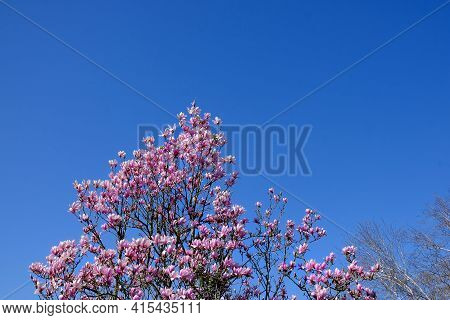 Beautiful Pink Flowers On A Tree With A Blue Sky On The Background